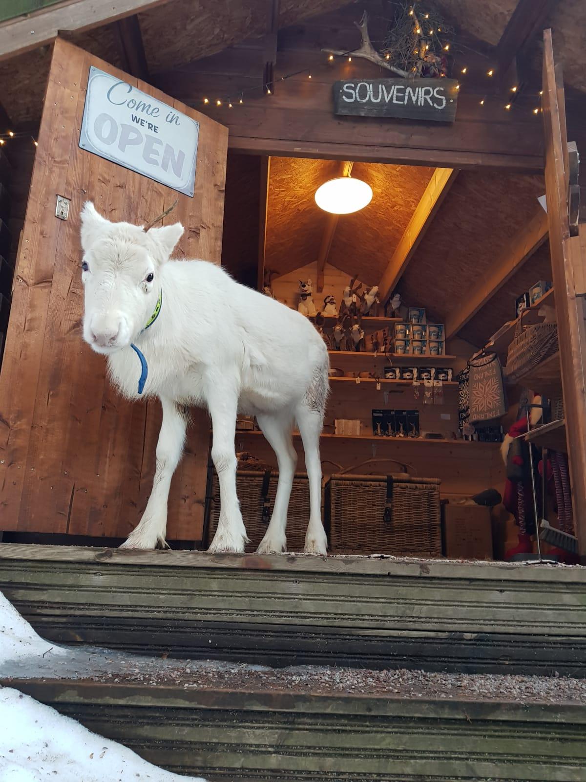 Reindeer Helmi in the souvenir shop